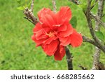 Small photo of Haiku hibiscus of double double flowers