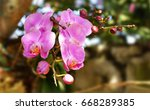 hatian wild orchids with...   Shutterstock . vector #668289385