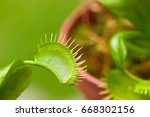 Small photo of Close up of an exotic insect-eating predator flower Venus flytrap dionaea, in a blurred background