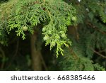 Cypress Tree Nuts  In The Summer