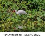 American White Ibis Near Water