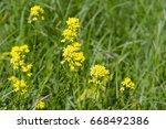 yellow flowers of b nias orient ... | Shutterstock . vector #668492386