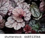 Small photo of Heuchera 'Silver Scrolls' - alumroot, coral bells