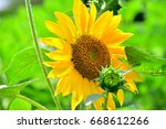 close up view of sunflowers. | Shutterstock . vector #668612266