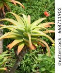 Small photo of Aloe arborescens (krantz aloe, candelabra aloe) is a species of flowering succulent perennial plant that belongs to the Aloe genus. Asphodelaceae family. South Africa.
