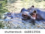 Adult Hippo In Water. Wildlife...