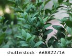 macro of boxwood  buxus... | Shutterstock . vector #668822716