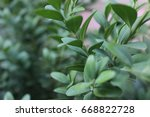 macro of boxwood  buxus... | Shutterstock . vector #668822728