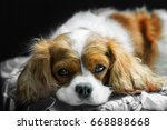 Brown White Cavalier King...