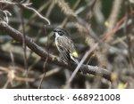 yellow rumped warbler  myrtle  | Shutterstock . vector #668921008