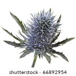 Head Flowering Thistle   Blue...