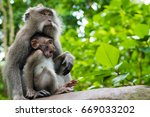 macaque monkeys with cubs at... | Shutterstock . vector #669033202