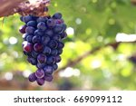 purple red grapes with green... | Shutterstock . vector #669099112