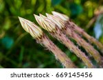 before blooming time of cactus...   Shutterstock . vector #669145456