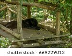 Black Jaguar Sleeping Taking A...