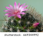 Small photo of Cactus Blooms - Motivation for Life. Fishhook Cactus (Mammillaria microcarpa) flowers