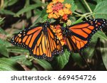 A Pair Of Monarch Butterflies...