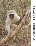 Small photo of A vervet monkey, cercopithecus aethiops, sitting on a tree branch