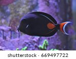 Small photo of Achilles tang swimming in fish tank.
