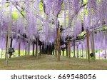 purple wisteria blossom tree at ...   Shutterstock . vector #669548056