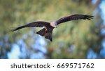 black kite  milvus migrans  in... | Shutterstock . vector #669571762