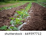 Small photo of How vegetables grow on the field. Tomatoes, zucchini, cucumbers, aubergines, potatoes grow in the fields. Agronomic Agriculture