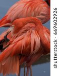 Small photo of American flamingo cleaning its feathers. Birds standing in water.