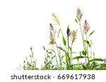 closeup of a sorghum bicolor on ...   Shutterstock . vector #669617938