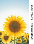 Sunflowers Texture Background For Designers - Fine Art prints
