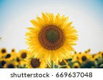 sunflowers texture and... | Shutterstock . vector #669637048