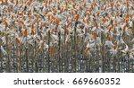 ripe maize ear in cultivated... | Shutterstock . vector #669660352