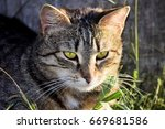 A Tabby Cat Rests On The Grass...