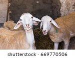 sheep within a sheepfold turn...