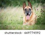 senior dog in the grass | Shutterstock . vector #669774592