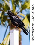 Small photo of An American Crow (Corvus brachyrhynchos) perched on a white pole with a palm in the background in Southern California.