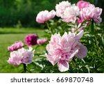 beautiful pink peony in a garden   Shutterstock . vector #669870748