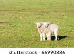 Pair Of Young Spring Lambs Wit...