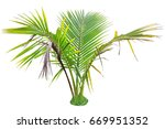 young betel palm on isolate... | Shutterstock . vector #669951352