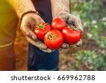 Picked Tomato In Gardener Hands ...