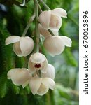 Small photo of Acineta morrei, orchid, family Orchidaceae.