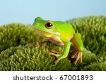 White Lipped Tree Frog Or...