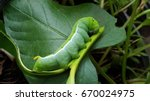 The Fat Green Caterpillar .wit...