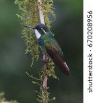 male white throated mountain... | Shutterstock . vector #670208956