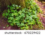 Ground Clover Around Tree Base