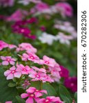 Small photo of Pink Vinca Flowers Hanging in The Garden