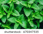 Green Mint Plant Grow...