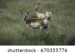 Small photo of Pronghorn Antelope Couple