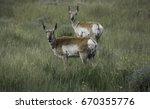 Pronghorn Antelope Couple