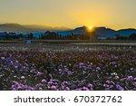 chrysanthemum field with...   Shutterstock . vector #670372762