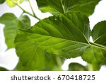 leaves of the tree mulberry in... | Shutterstock . vector #670418725